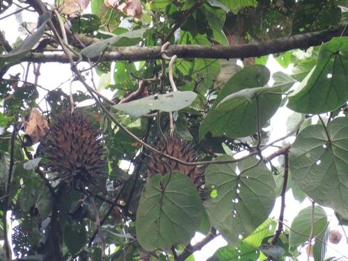 Matelea magnifolia image