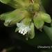 Amischotolype hispida - Photo (c) Lijin Huang (紫楝), todos os direitos reservados