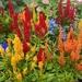 Celosia argentea plumosa - Photo (c) Jade Visser, כל הזכויות שמורות