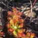 Drosera esterhuyseniae - Photo (c) Chris Whitehouse, todos los derechos reservados
