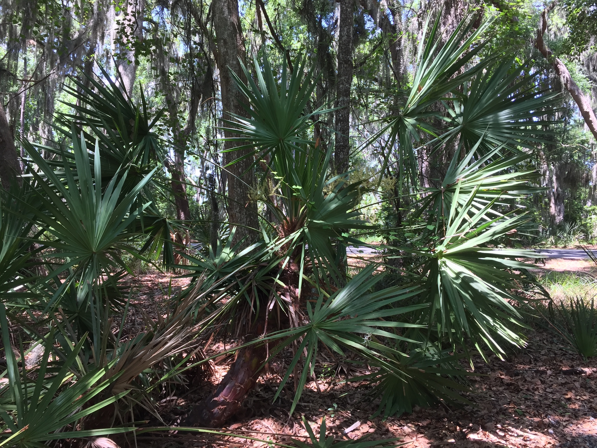 saw palmetto with flower spikes