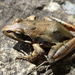 Mount Meru Stream Frog - Photo (c) donchelu, all rights reserved