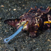 Squids and Cuttlefishes - Photo (c) Christian Gloor, some rights reserved (CC BY)