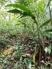 Cyclanthus bipartitus image