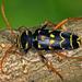 Plagionotus arcuatus - Photo (c) gernotkunz, todos los derechos reservados