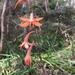 Watsonia meriana va - Photo (c) Nathan Ye, todos los derechos reservados