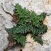 Oeosporangium acrosticum - Photo (c) Konstantinos Kalaentzis, kaikki oikeudet pidätetään