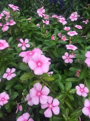 Image of Catharanthus roseus