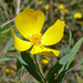 Bush Poppy - Photo (c) Stan Shebs, some rights reserved (CC BY-SA)