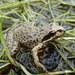 Kitumbeine Stream Frog - Photo (c) donchelu, all rights reserved