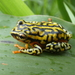 Mainland Reed Frog - Photo (c) donchelu, all rights reserved