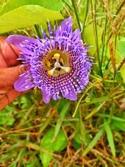 Passiflora seemannii image