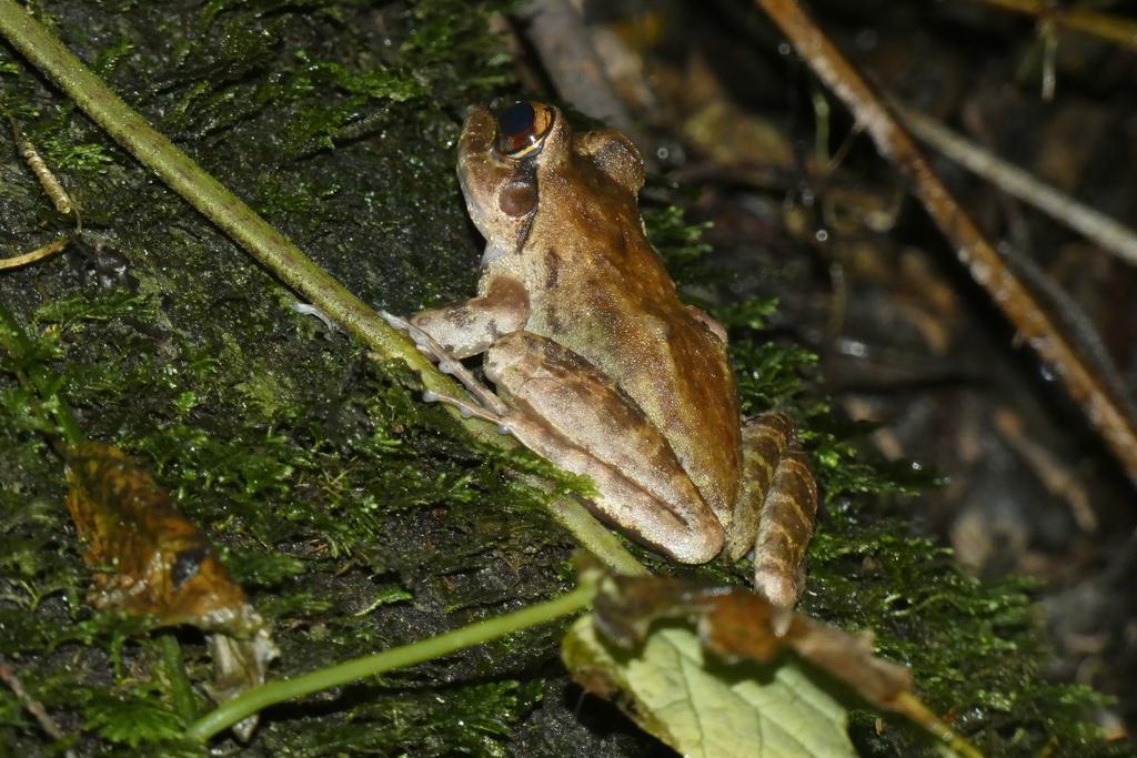Usambara Torrent Frog