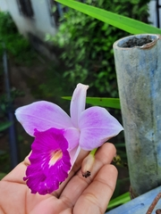 Arundina graminifolia image