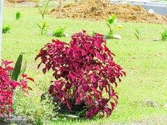 Plectranthus scutellarioides image