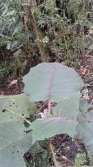 Solanum quitoense image
