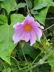 Dahlia imperialis image
