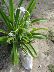 Hymenocallis littoralis image