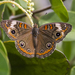 Pacific Mangrove Buckeye - Photo (c) Gerardo Marrón, all rights reserved
