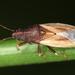 Cymus glandicolor - Photo (c) gernotkunz, todos los derechos reservados