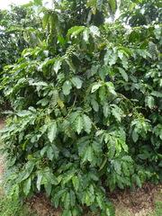Coffea arabica image