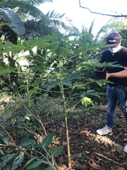 Carica papaya image