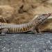 Matobosaurus validus - Photo (c) Myles Veysey, todos los derechos reservados