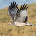 Hen Harrier - Photo (c) Andrew Reding, some rights reserved (CC BY-NC-ND)