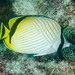 Vagabond Butterflyfish - Photo (c) Ian Shaw, all rights reserved