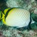 Chaetodon vagabundus - Photo (c) Ian Shaw, todos los derechos reservados