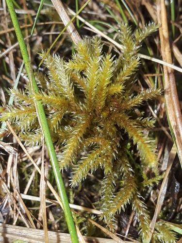 Climacium americanum image