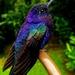 Violet Sabrewing - Photo (c) Kenner Díaz, all rights reserved
