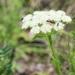 Schultzia crinita - Photo (c) Oyuntsetseg Batlai, all rights reserved