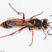 Sceliphron curvatum - Photo (c) Valter Jacinto, todos los derechos reservados