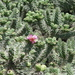 Cylindropuntia imbricata rosea - Photo (c) José Alfredo Morales Ortiz, all rights reserved