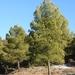 Aleppo Pine - Photo (c) Antonio José Carmona, all rights reserved