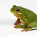 Holarctic Treefrogs - Photo (c) J.P. Lawrence, all rights reserved