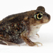 Eastern Spadefoot - Photo (c) J.P. Lawrence, all rights reserved