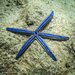 Blue Sea Star - Photo (c) Colin Purrington, all rights reserved