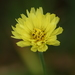 False Dandelion - Photo (c) mayfly1963, all rights reserved, uploaded by mayfly1963