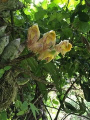 Image of Catasetum macrocarpum