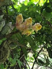 Catasetum macrocarpum image