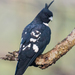 Black Baza - Photo (c) Vijay Anand Ismavel, some rights reserved (CC BY-NC-SA)