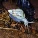 Drymaeus interpunctus - Photo (c) mtwe82, todos os direitos reservados