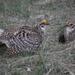 Gallo de Las Praderas Rabudo - Photo (c) Matt Wallace, todos los derechos reservados