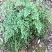 Shasta Maidenhair - Photo (c) Aaron Dobson, all rights reserved