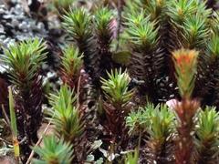 Polytrichum juniperinum image