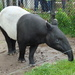 Malayan Tapir - Photo (c) User:Arctic.gnome, some rights reserved (CC BY-SA)
