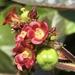 Jatropha gossypiifolia - Photo (c) oswrod, todos los derechos reservados