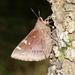 Megathymus cofaqui - Photo (c) Andrew Warren, todos los derechos reservados